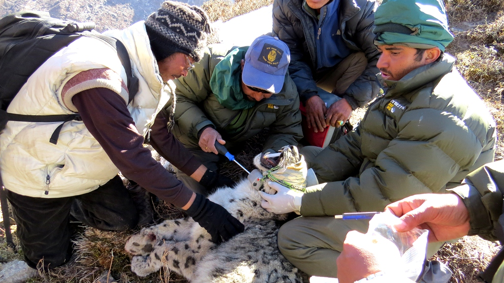 The snow leopard was captured using a modified Aldrich foot snare equipped with satellite/VHF trap transmitters, which is a tried and tested means. The snow leopard came to no harm during the capture. © © Kamal Thapa/WWF Nepal