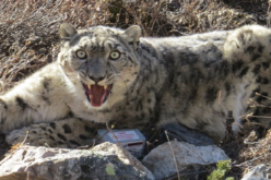 GPS Collaring to Protect Endangered Snow Leopard
